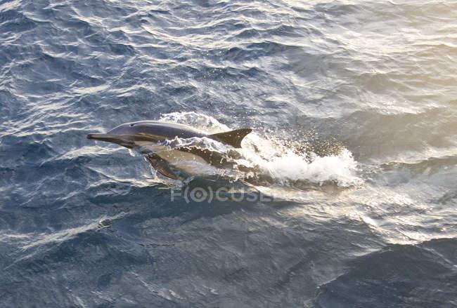 langer schnabel gemeinsamen delphin bahia magdalena baja
