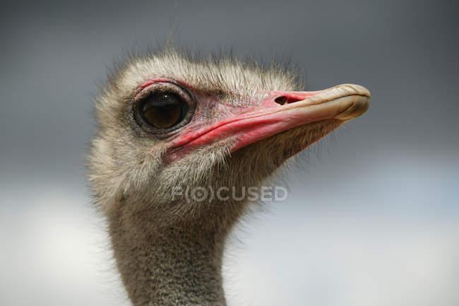 Portrait du chef de l'autruche (Struthio camelus) — Photo de stock