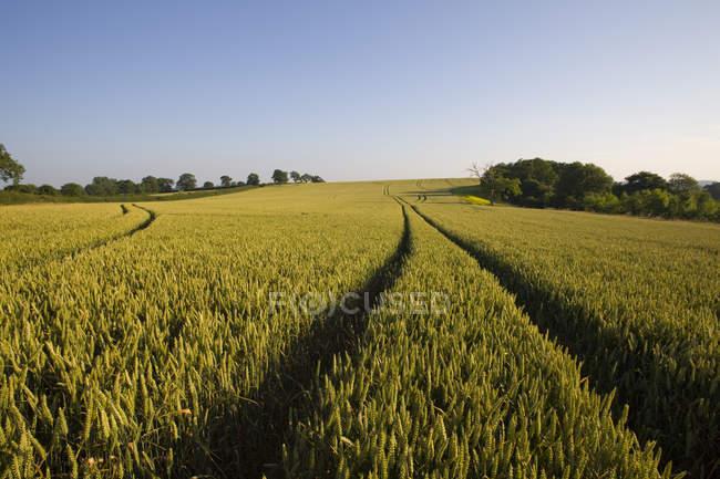 Faixas no campo de trigo — Fotografia de Stock