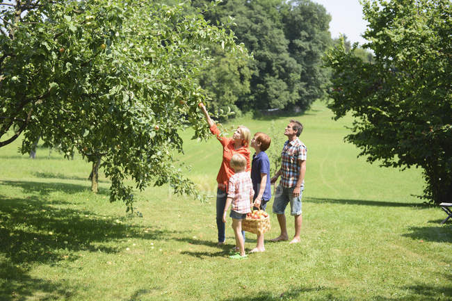 Family picking apples in orchard — Stock Photo