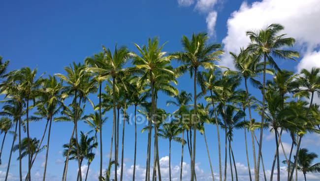 Palmeiras em Hilo, console grande, Havaí, EUA — Fotografia de Stock