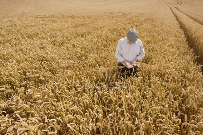 Paysan debout dans le champ et examing blé en mains — Photo de stock