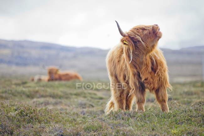Vache highland portrait beuglant à field campagne — Photo de stock