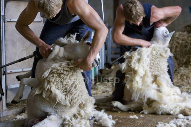 Farmers shearing sheeps for wool — Stock Photo