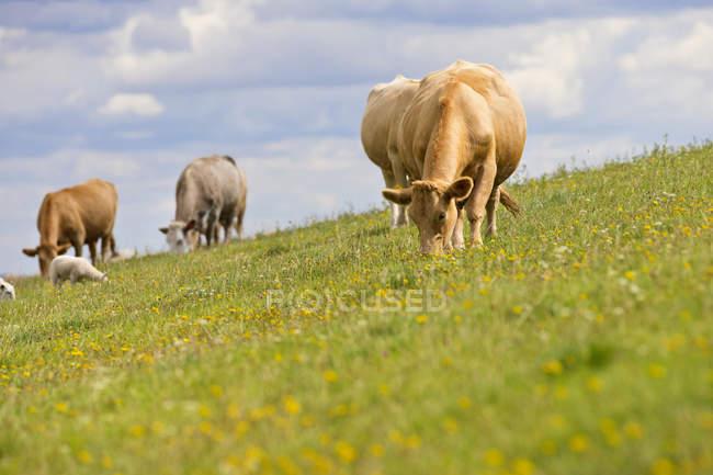 Troupeau de vaches broutant dans domaine — Photo de stock