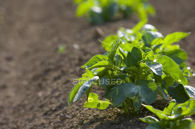 Урожай картоплі на розорана родовищі — стокове фото