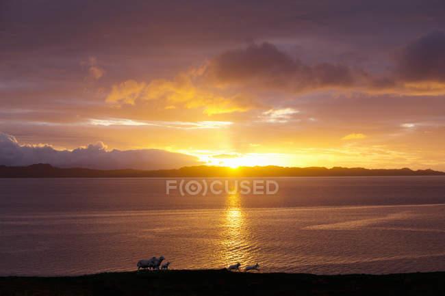Sheep running on coast over sunset — Stock Photo