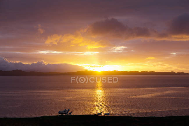 Овець працює на узбережжі над захід сонця — стокове фото
