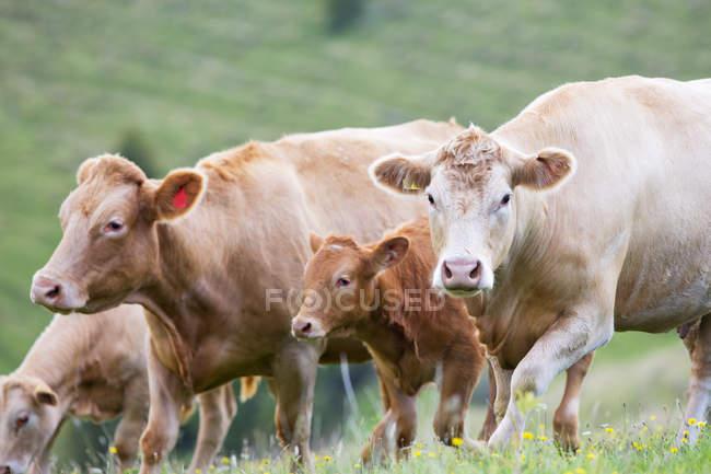 Troupeau de vaches dans le domaine rural — Photo de stock