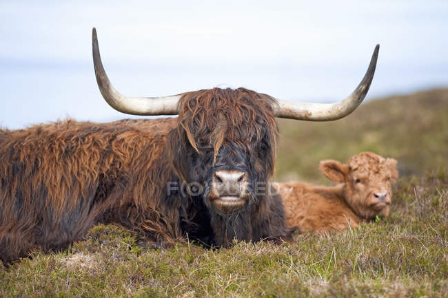 Portrait of highland cow with calf lying on scottish lawn — Stock Photo