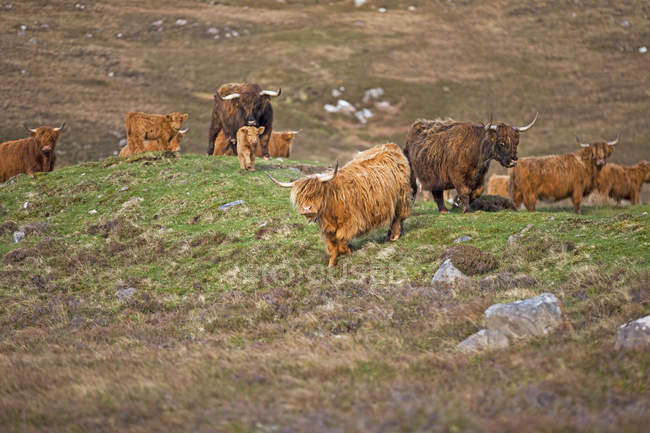 Herd of highland Cattle grazing on scottish countryside field — Stock Photo