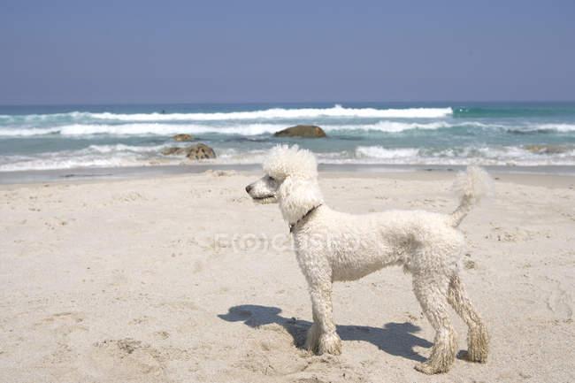 Caniche blanc sur la plage de sable — Photo de stock