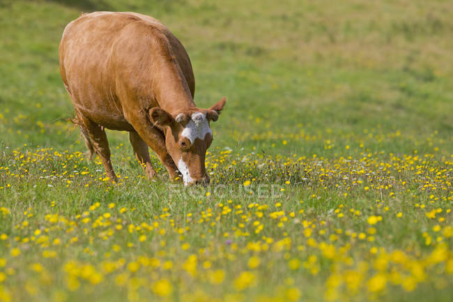 Cow grazing in rural field — Stock Photo