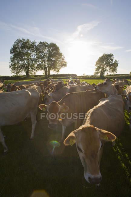 Troupeau de vaches Jersey marche — Photo de stock