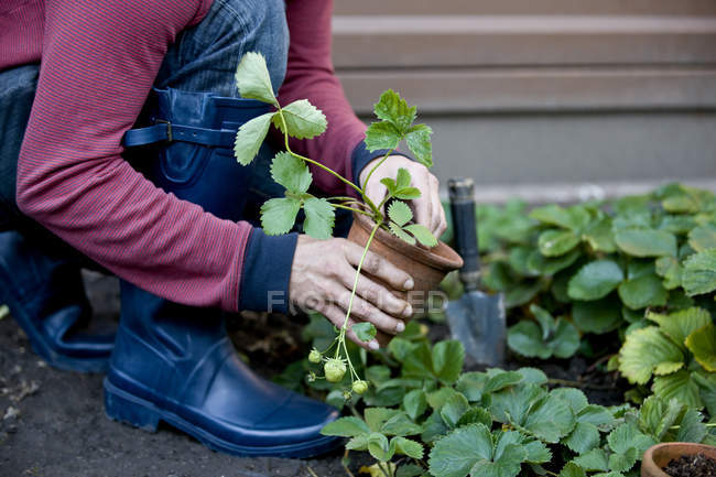 Man planting strawberry plant outdoors — Stock Photo
