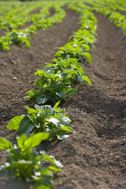 Potato crop at ploughed field — Stock Photo