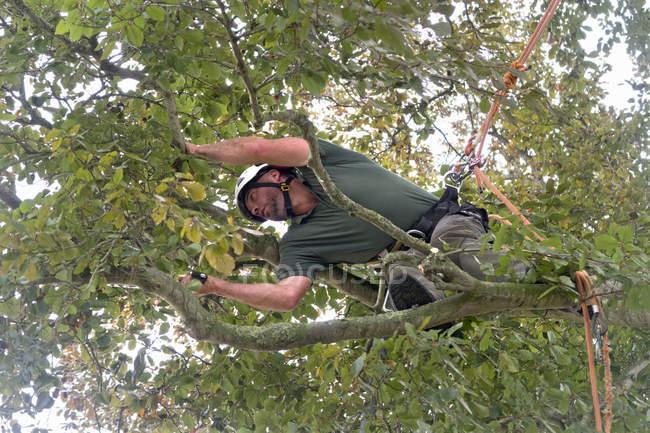 Arborist носіння безпеки упряж обрізка міді бук Гілка дерева з побачив — стокове фото