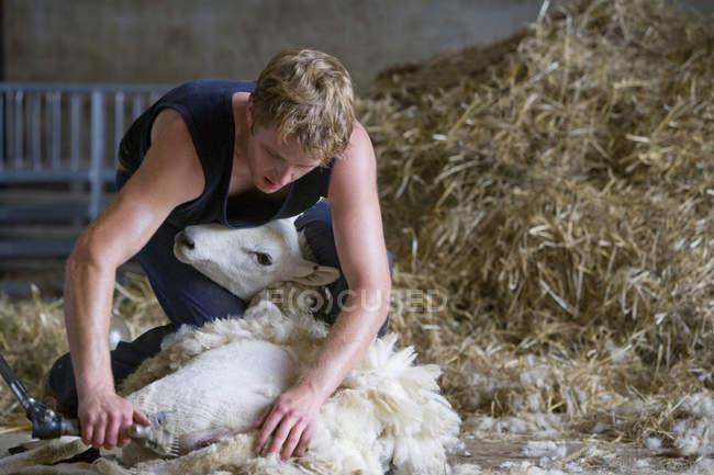 Farmer shearing sheep for wool — Stock Photo