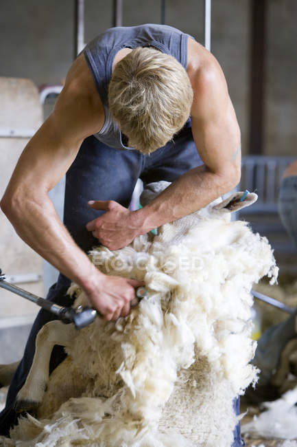 Farmer shearing sheep — Stock Photo
