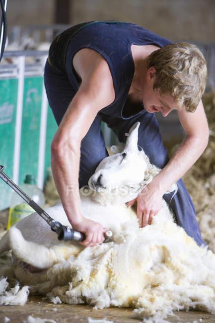 Bending farmer shearing sheep for wool — Stock Photo