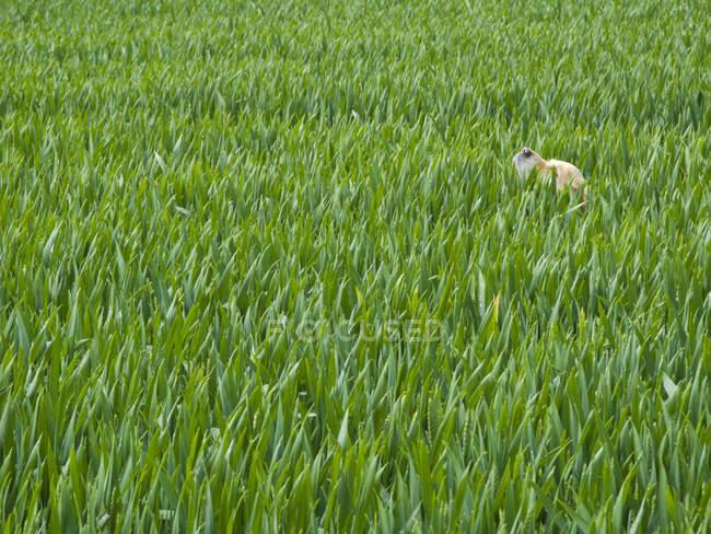Geloanimal в поле зеленой ячменя — стоковое фото