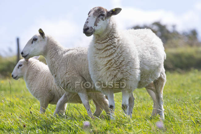 Flock of sheep in rural field — Stock Photo