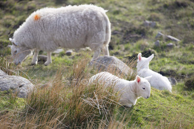 Sheep and lambs grazing on highlands moorland  lawns — Stock Photo