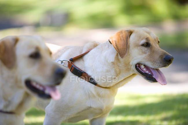 Dois cães para puxar a trela — Fotografia de Stock