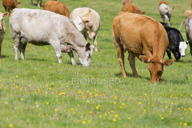 Herd of cows in rural field — Stock Photo