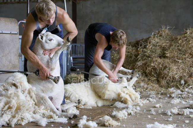 Two farmers shearing sheep for wool — Stock Photo