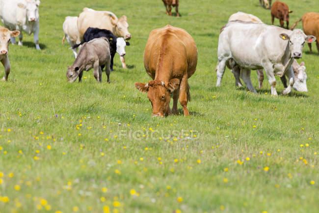 Herde der Kühe im ländlichen Bereich — Stockfoto