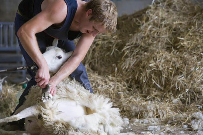 Blond farmer shearing sheep for wool — Stock Photo