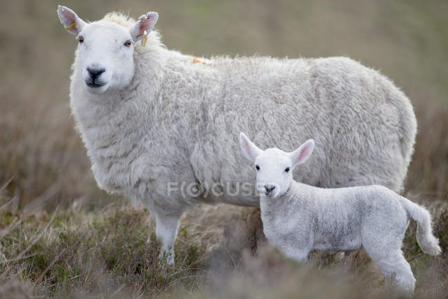 Side view of sheep and lamb standing on highland moorland and looking at camera — Stock Photo