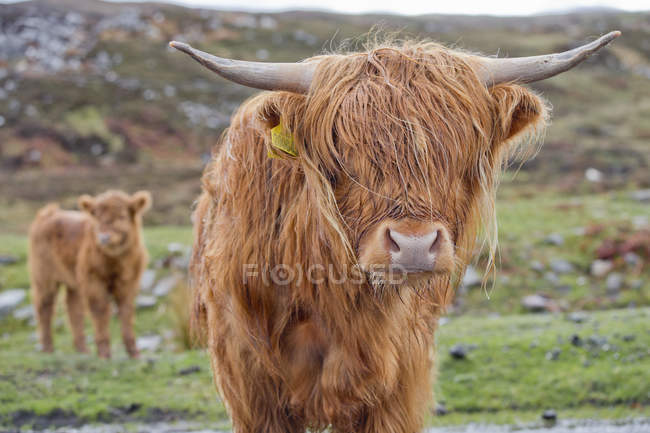 Portrait of Highland Cattle standing on rural field and looking at camera — Stock Photo