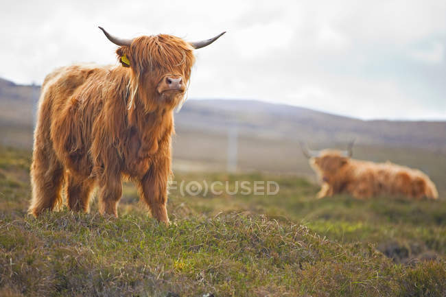 Highland bull on scottish countryside field — Stock Photo