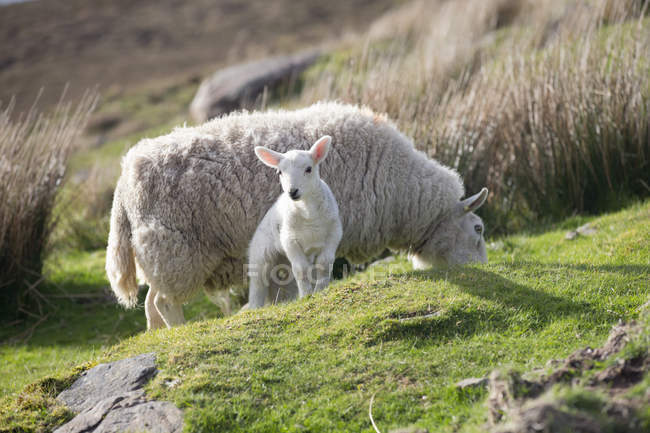 Sheep and lamb grazing on highlands moorland on sunny day — Stock Photo