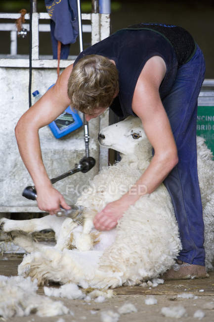 Farmer shearing sheep for wool in barn — Stock Photo
