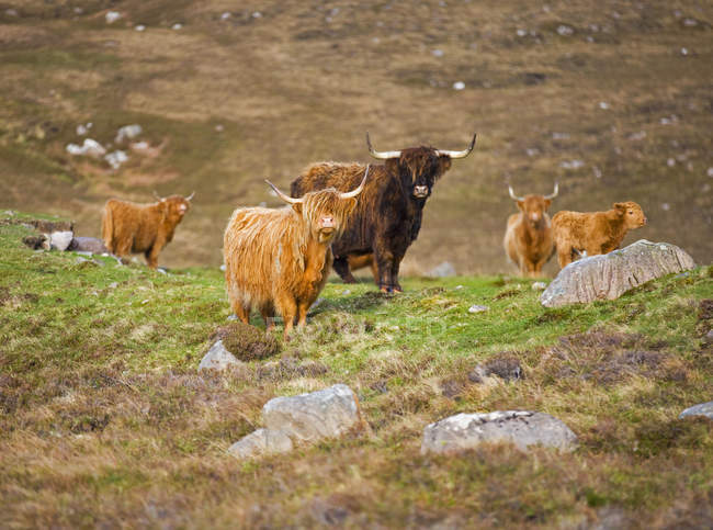 Herd of highland Cattle grazing on scotish highland hill slope lawn — Stock Photo
