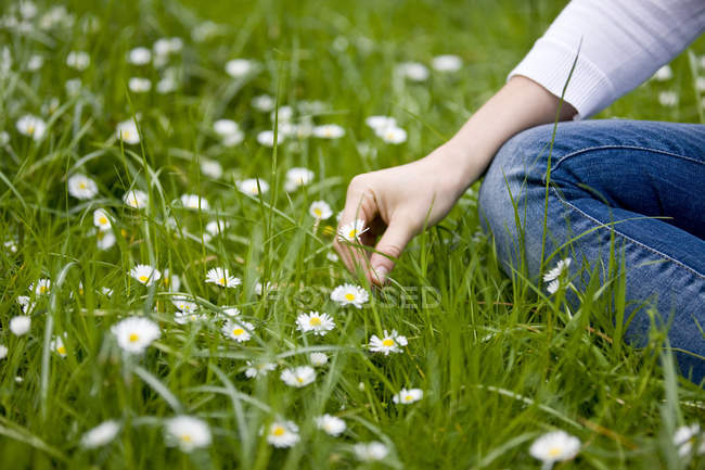 Female hands tearing off chamomile — Stock Photo