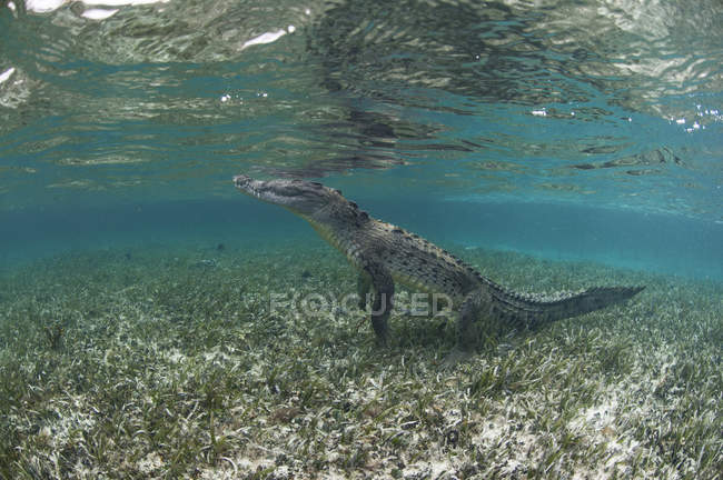 Crocodile sur pattes, — Photo de stock