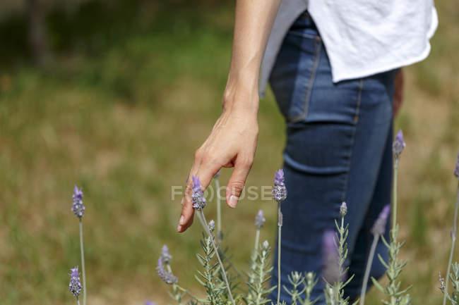 Main, touchant la plante de lavande — Photo de stock