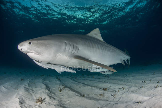 Requin-tigre nage le long — Photo de stock