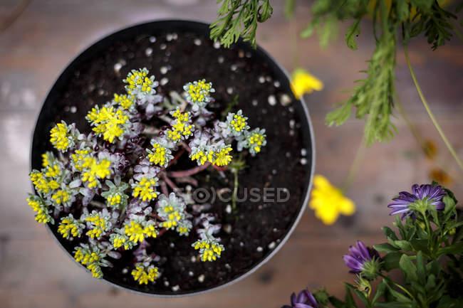 Pianta in vaso con piccole foglie gialli — Foto stock