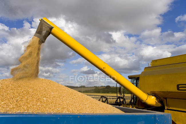 Combine pouring harvested wheat grain — Stock Photo