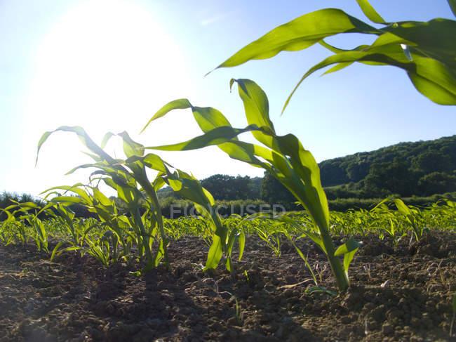 Врожаю кукурудзи, ростуть у фермі поле — стокове фото