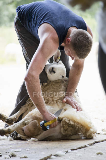 Sheep shearer shearing sheep wool with traditional hand clippers — Stock Photo