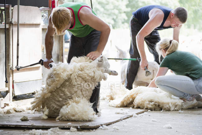 Sheep shearers shearing sheep wool with electric clippers — Stock Photo