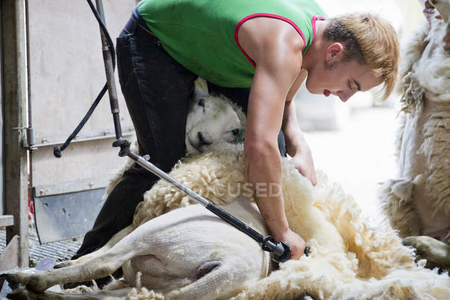 Sheep shearer shearing sheep wool with electric clippers — Stock Photo