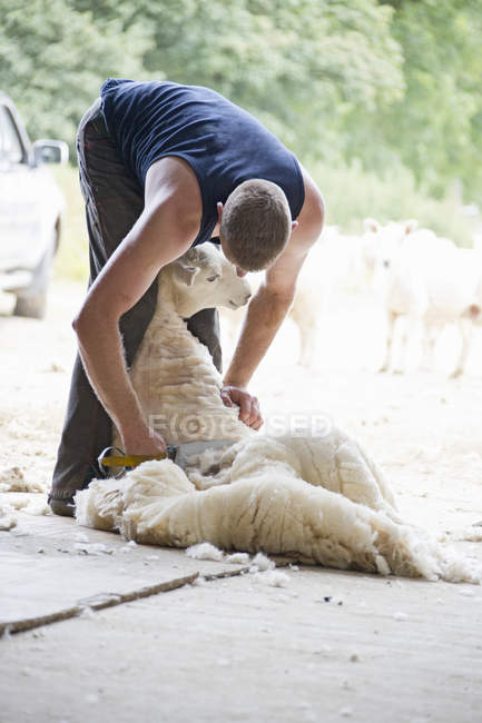 Sheep shearer shearing sheep wool with traditional hand clipper — Stock Photo