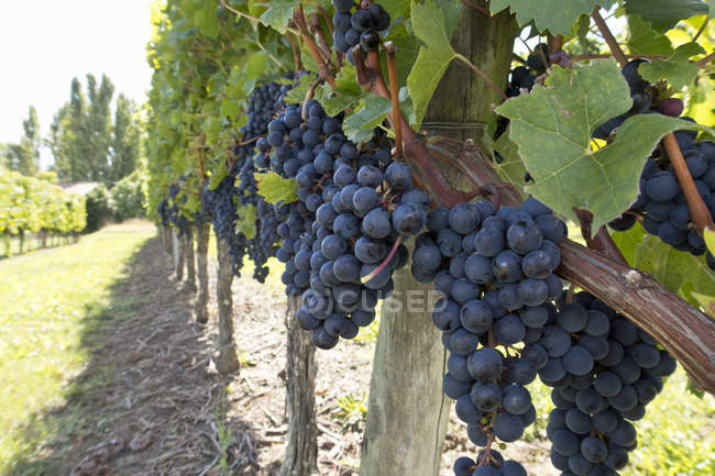 Close-up of grapes on vines in French vineyard at daytime — Stock Photo